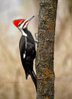 Pileated Woodpecker by bad95killer