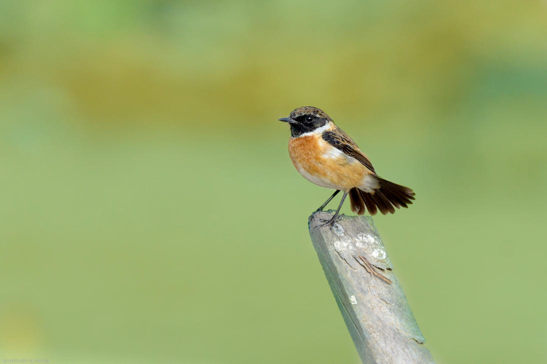 Common Stonechat by bad95killer