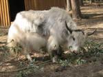 Domesticated yaks