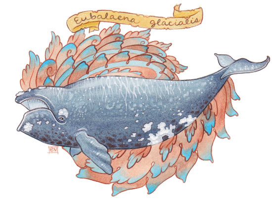 North Atlantic Right Whale by golden-quince on DeviantArt