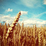 Golden field, blue sky