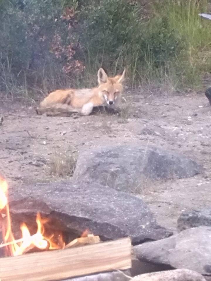 Fox Enjoying The Summertime Breeze. by SakuraTheSmolBean
