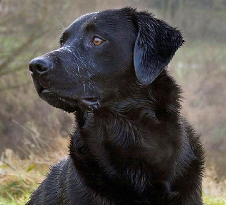 Black Labrador Retriever by labdogs