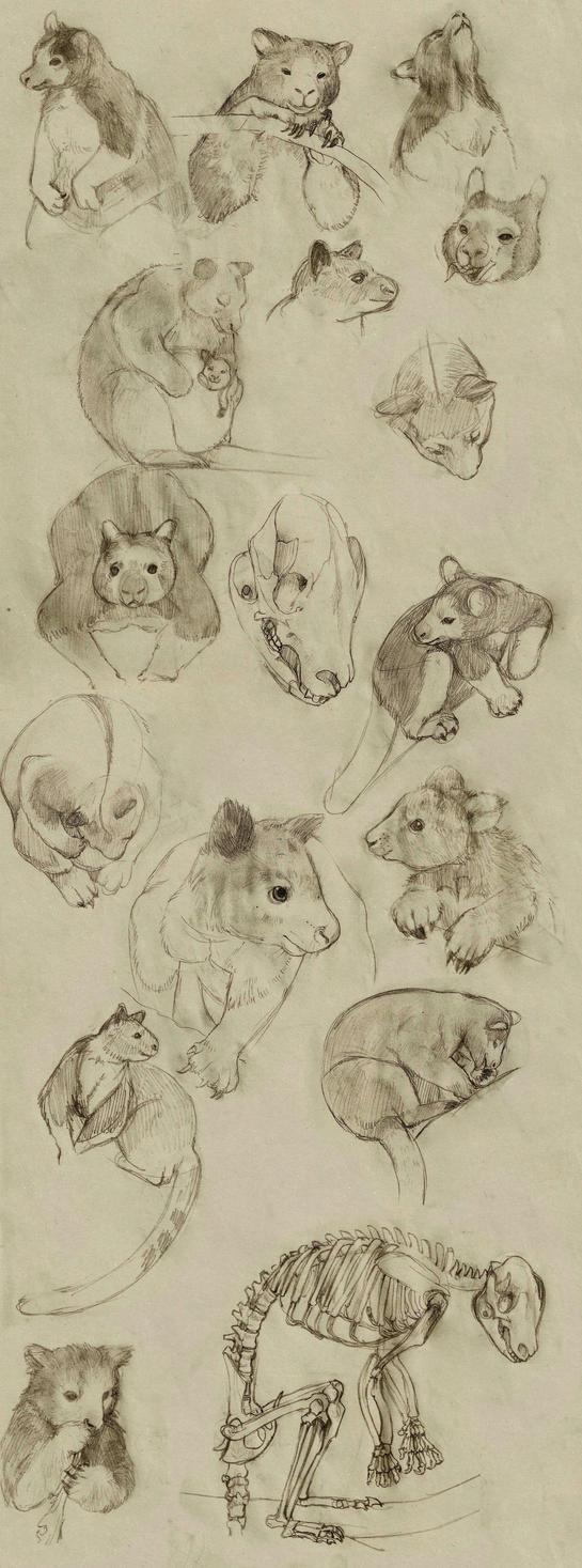 Tree Kangaroo Sketches by SoftBluewind