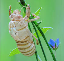 Empty Cicada shell by rajaced