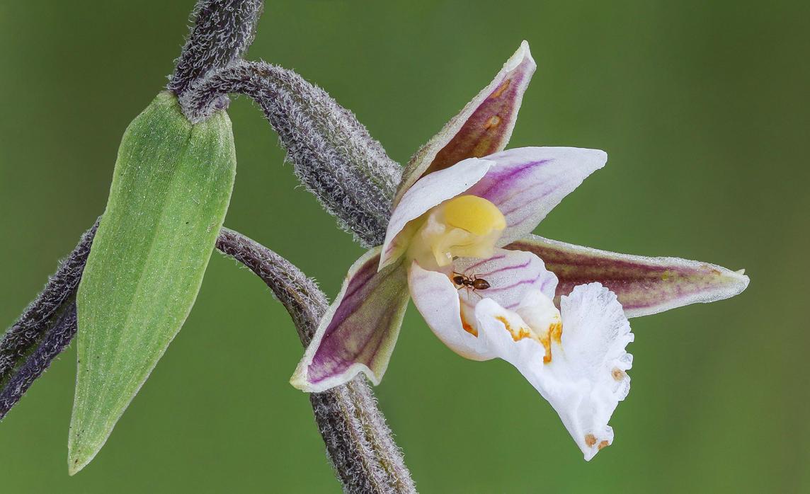 Epipactis palustris by rajaced