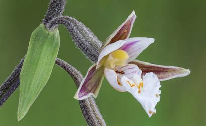 Epipactis palustris