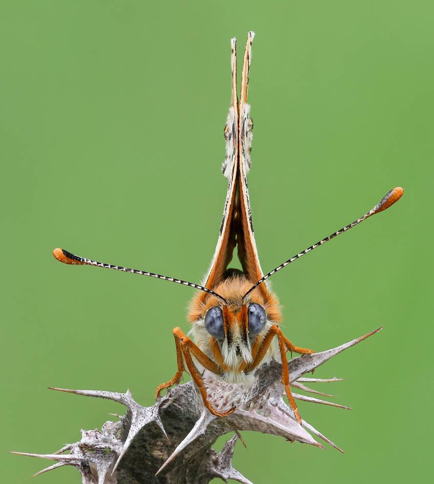 Melitaea cinxia by rajaced
