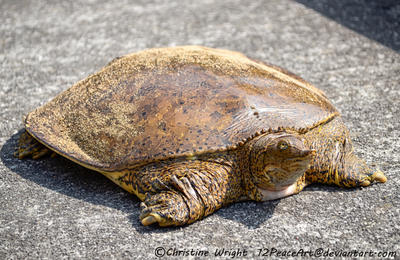 Soft Shelled Turtle by 12PeaceArt
