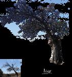 Carob dry branches
