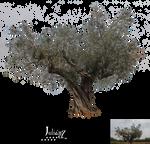 Centennial olive tree