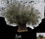 Centennial olive tree 2