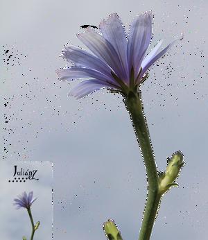 Chicory flower 2