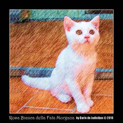 Rosa Bianca della Fata Morgana