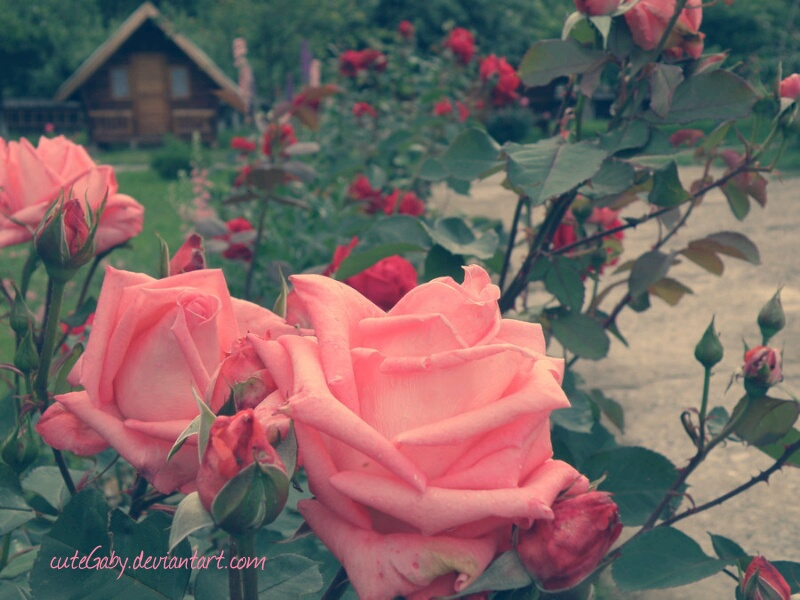 Pink roses by cuteGaby