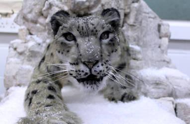Close up Snow Leopard
