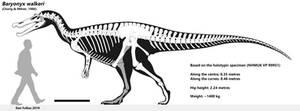 Baryonyx walkeri - skeletal