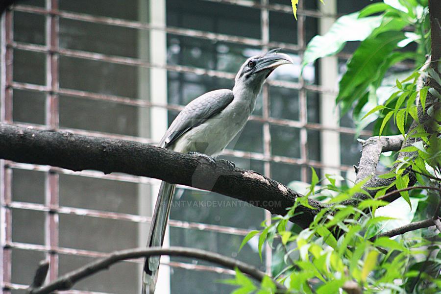 Hornbill by Antvak