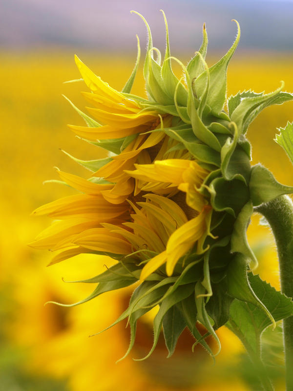 1110 best Yellow Flowers images on Pinterest | Yellow flowers ...