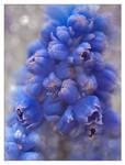 Blue grapes by Vampirbiene