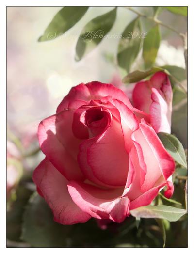 Just a rose by Vampirbiene