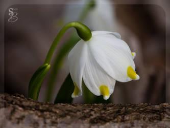 Spring bell by Vampirbiene