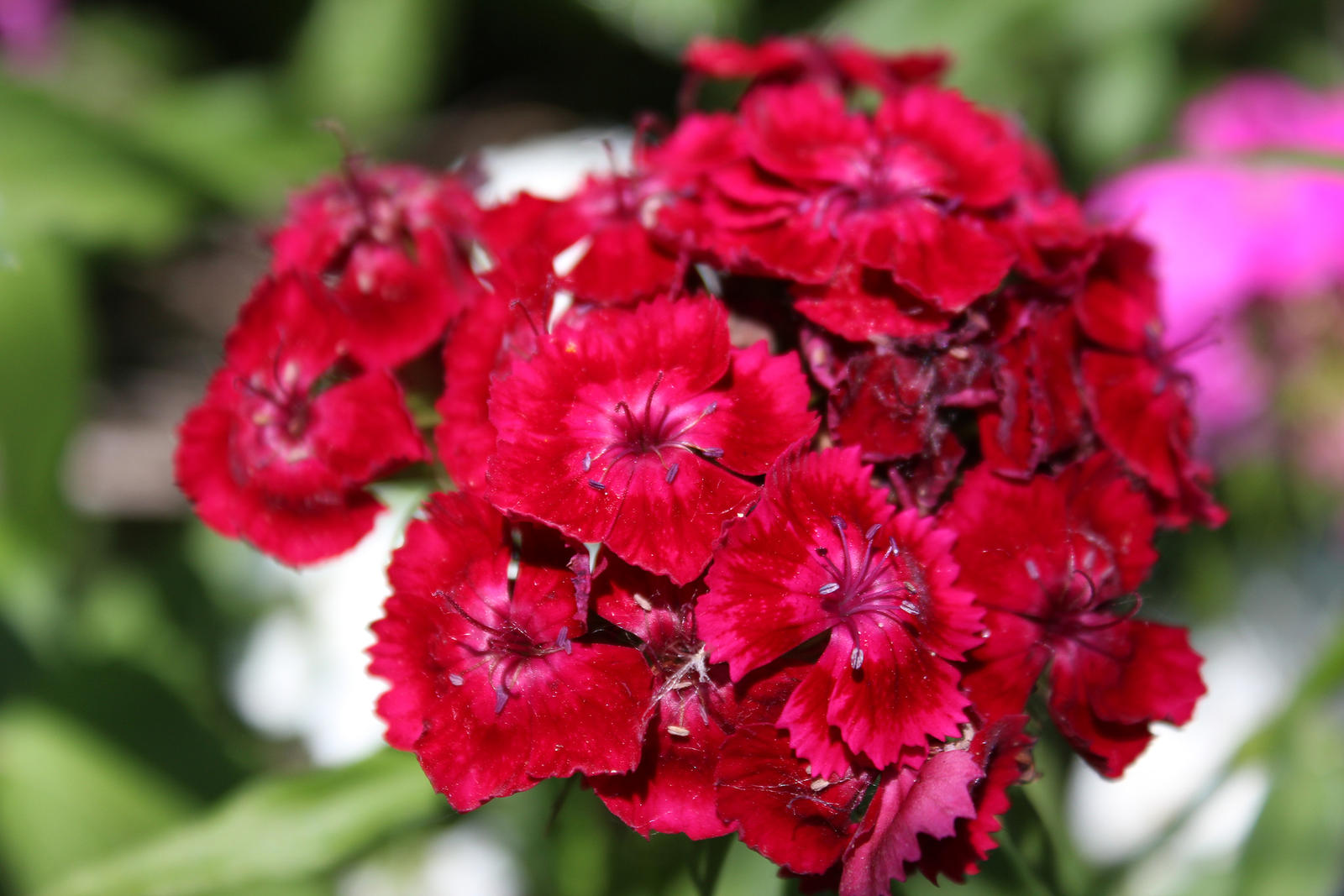 Red Dianthus Flowers by emilymhanson on DeviantArt