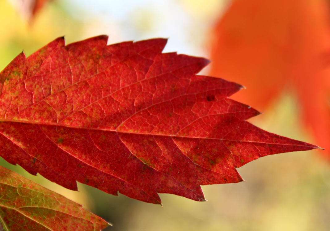 Colorful Red Autumn Leaf by emilymhanson