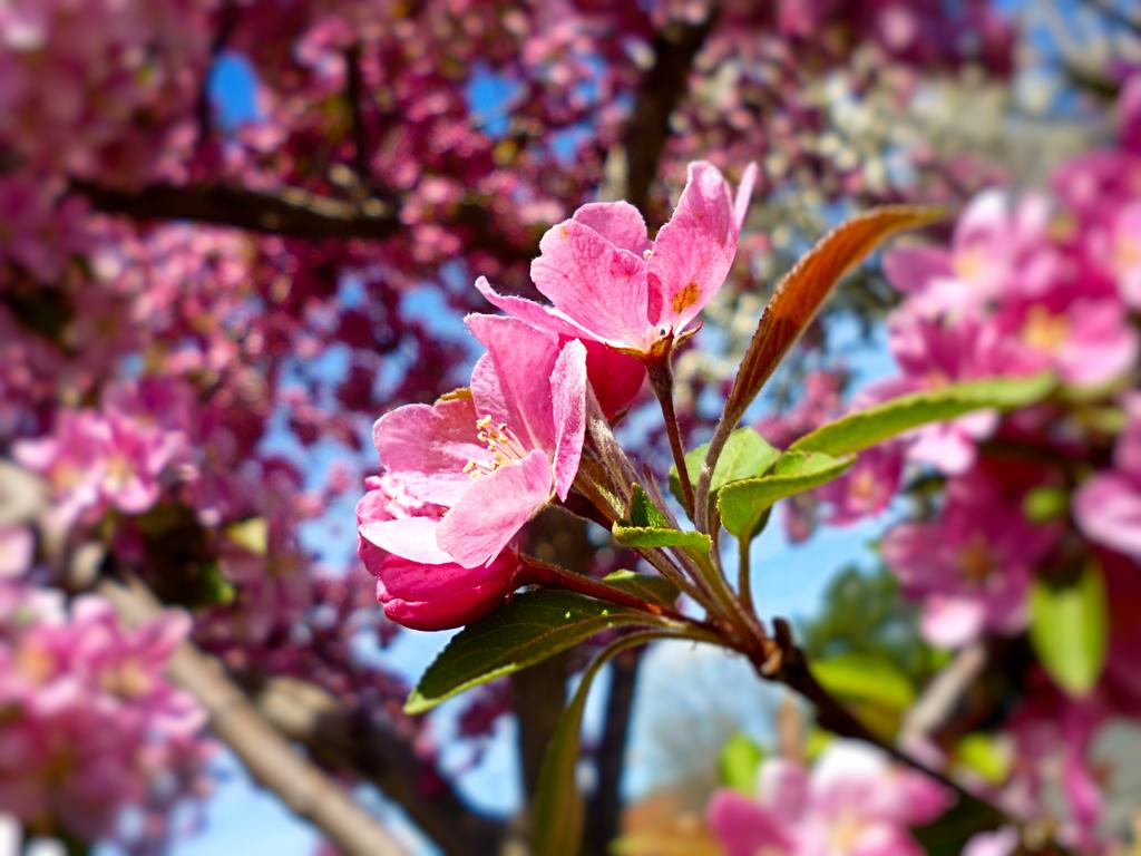 Pink Tree Blossoms 2 by emilymhanson