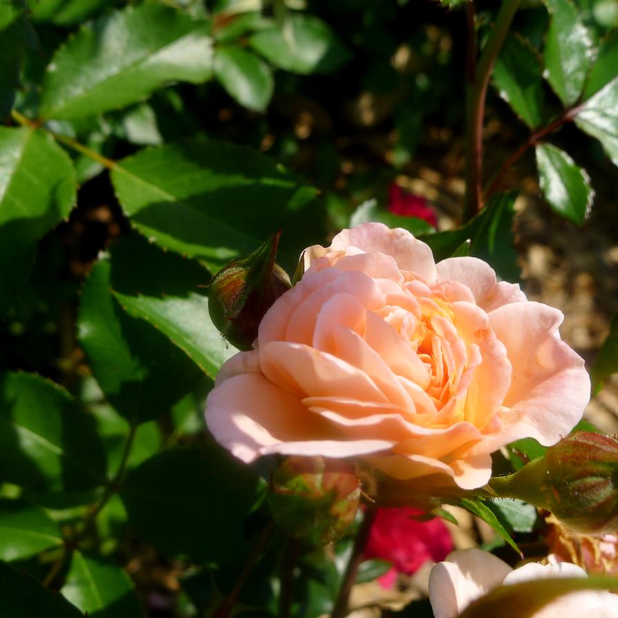 Apricot Drift Rose by emilymhanson