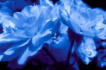 Blue Flowering Blossoms