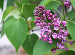 Blooming Lilac Plant by emilymh2018