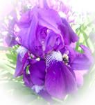 Blossoming Purple Iris by emilymh2018