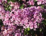 Flowering Lilacs by emilymh2018