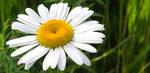 Flowering White Daisy by emilymh2018