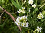 White Flourishing Wildflowers by emilymh2018