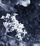 Monochrome Lilacs by emilymh2018