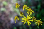 Blossoming Ragwort Flowers by emilymh2018