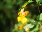 Blooming Orange Wildflower by emilymh2018