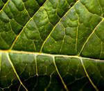 Poinsettia Leaf Macro by emilymh2018