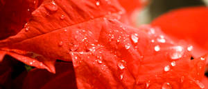Blossoming Poinsettia with Water Drops