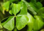 Potted Fresh Green Shamrock Plant by emilymh2018