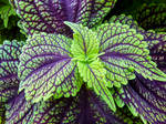 Purple and Green Leaves