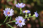 Thriving Natural Fall Aster Blossoms by emilymh2018