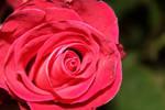 Radiant Flowering Pink Rose Bloom