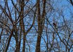 Cardinal on Tree Branch by emilymh2018