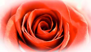Flowering Bright Red Rose Bloom