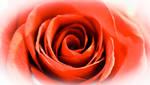 Flowering Bright Red Rose Bloom by emilymh2018