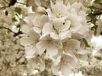 Blossoming White Flowering Spring Tree VI