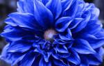 Flowering Blue Dahlia Blossom